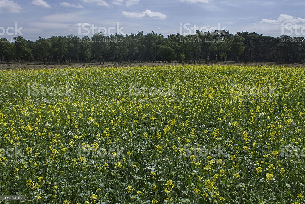 Flowers Field at the Nationale Park De Hoge Veluwe royalty-free stock photo