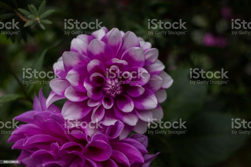 Flowers, flowers chrysanthemum stock photo
