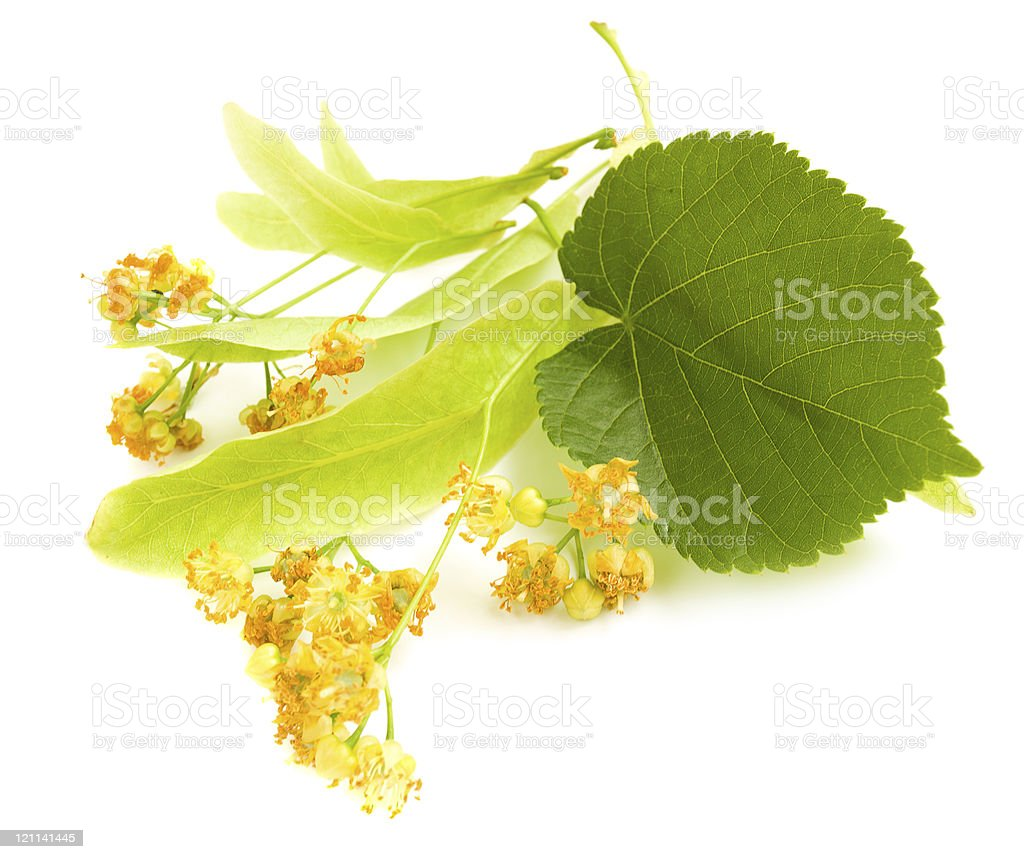 Flowers from a linden tree on a white background stock photo