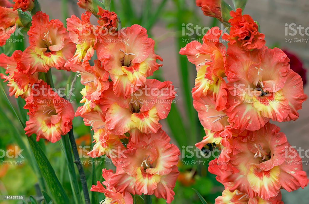 Flowers gladiolus stock photo