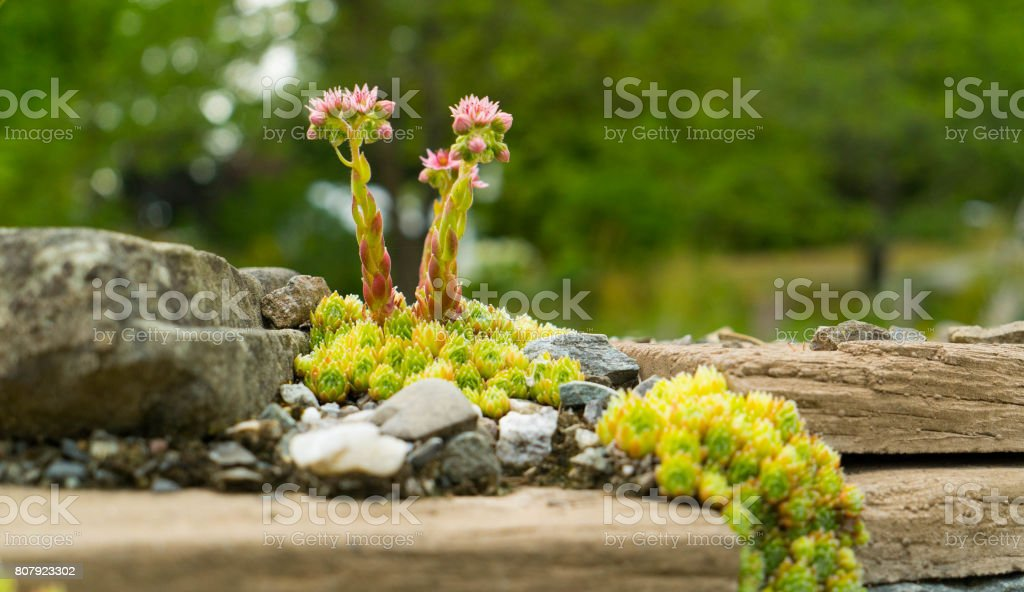 Flowers growing on stones. stock photo