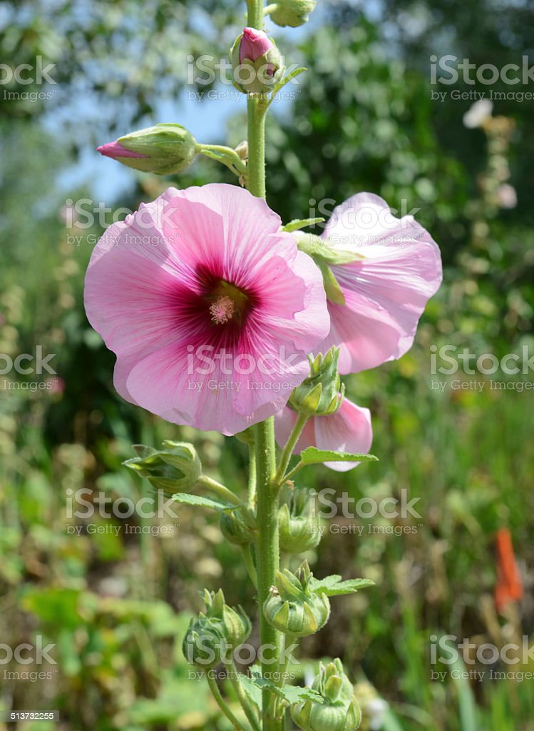 Flowers - Hollyhocks blooming in Perennial garden stock photo