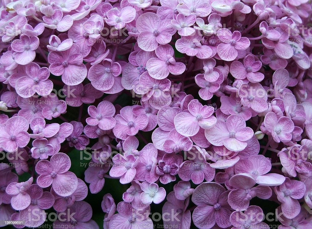 Flowers - Hydrangea royalty-free stock photo