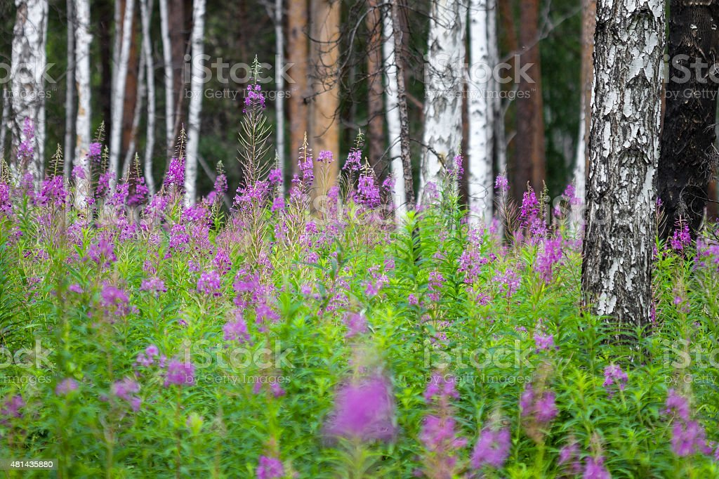 Flowers in a birch forest stock photo