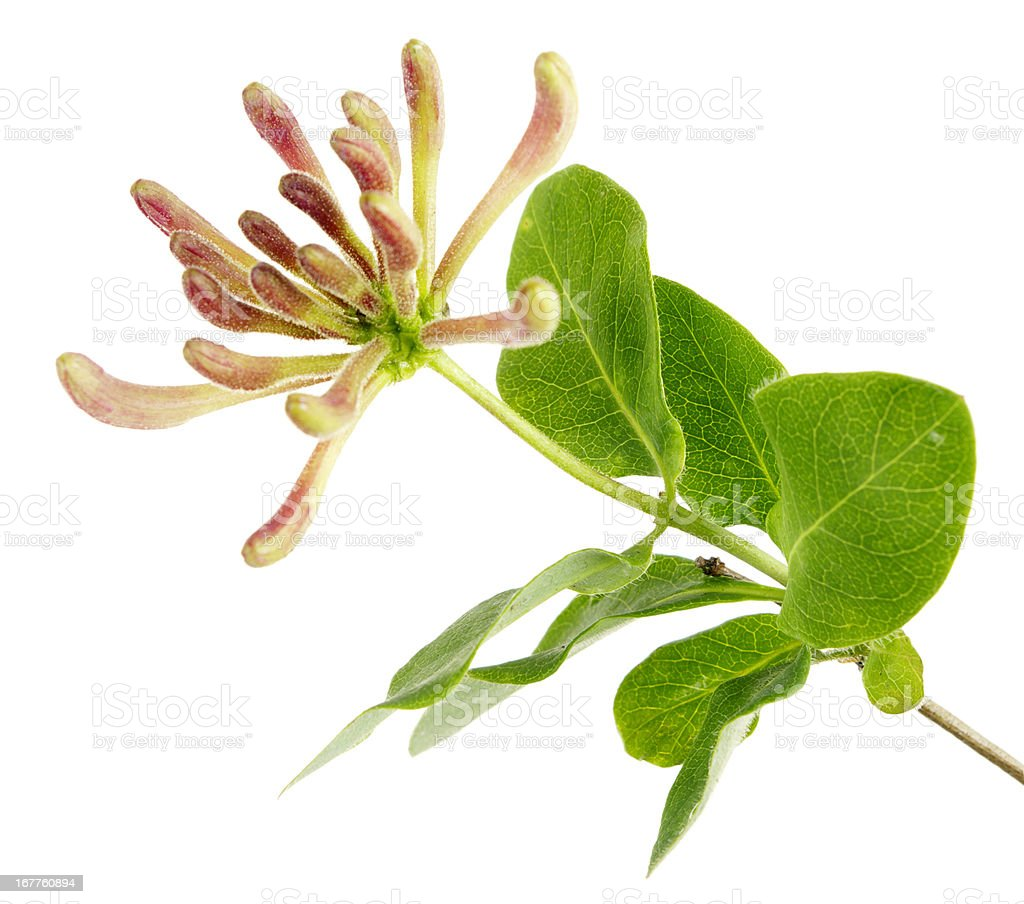 Flowers In Buds Of Honeysuckle Plant Isolated On White stock photo