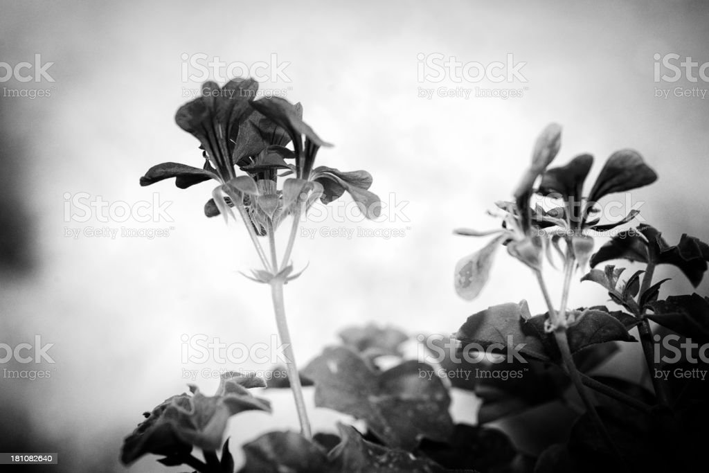 Flowers in B/W stock photo