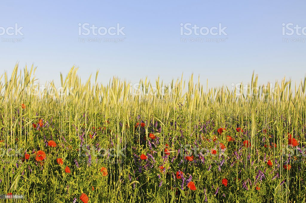 Flowers in Cereal Field royalty-free stock photo