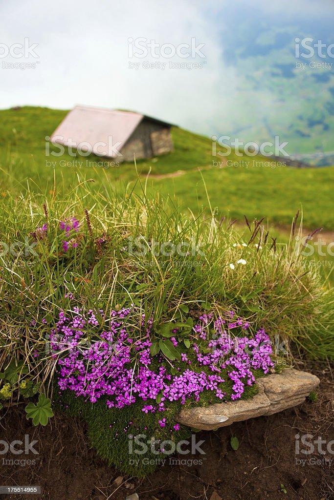 Flowers in Niesen mountain royalty-free stock photo