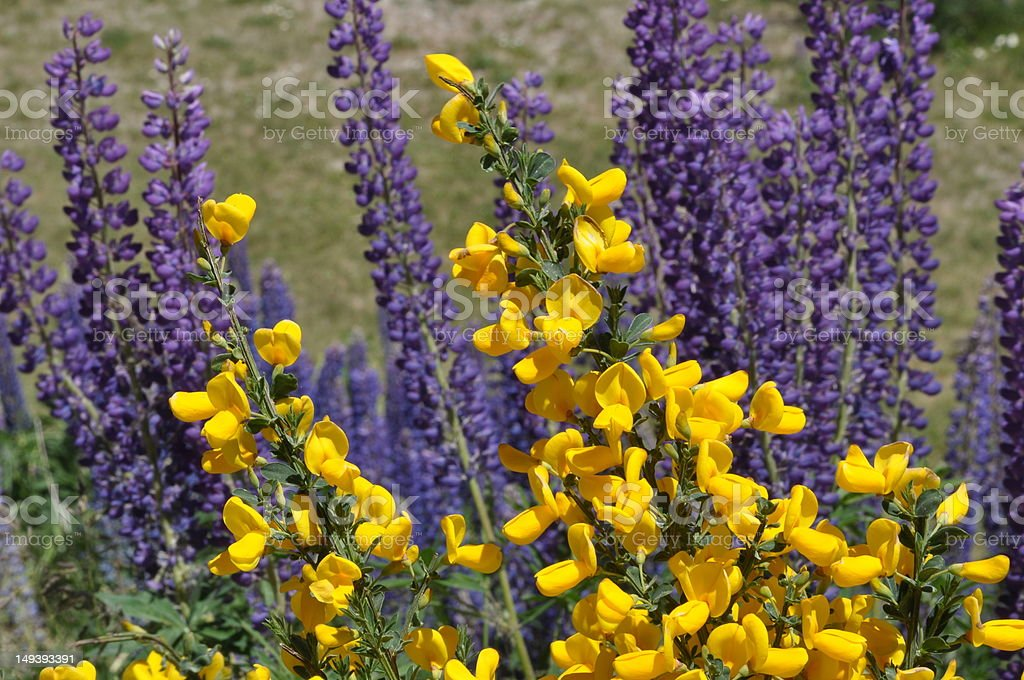 flores en la Patagonia royalty-free stock photo