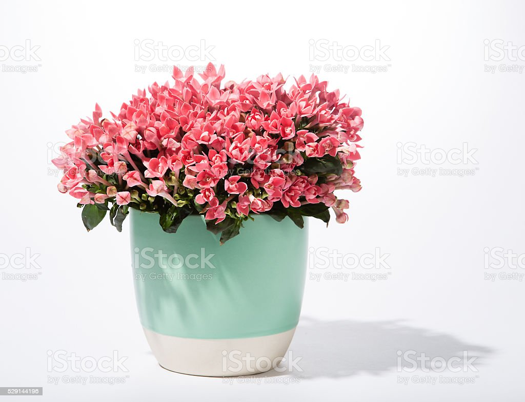 flowers in pot stock photo