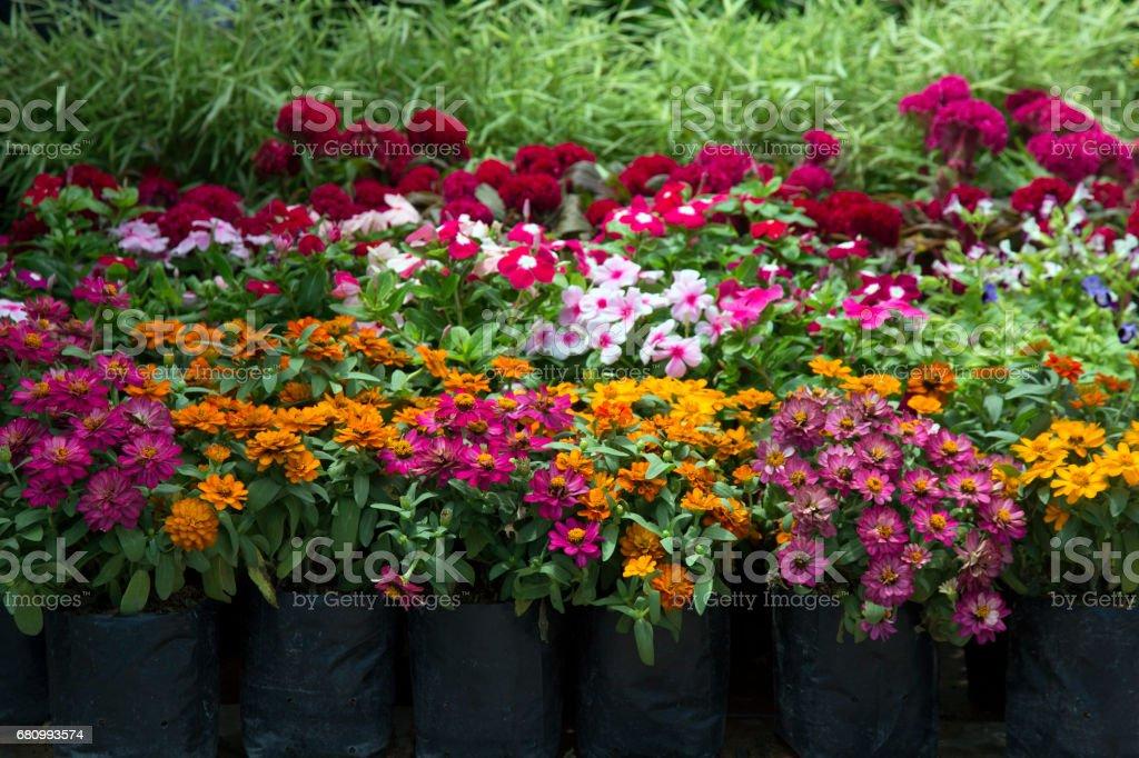 flowers in pots , colorful flowers pots, flowers shop. stock photo