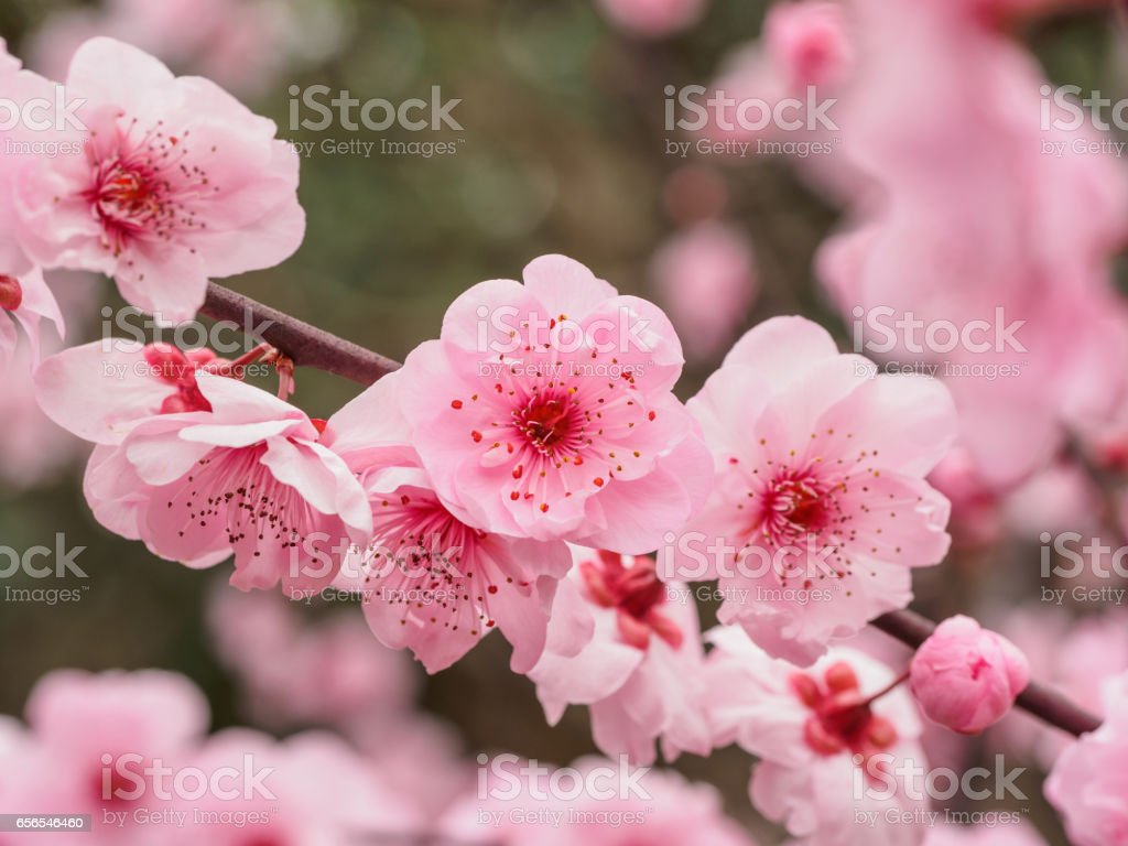 Flowers In Spring Series Beautiful Red Plum Blossoms In Park With