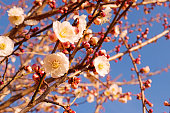 Flowers in spring series: blossoming a plum