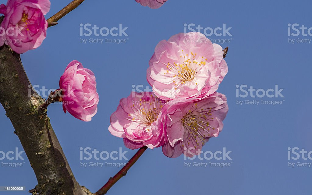 Flowers in spring series: plum blossoming in spring stock photo