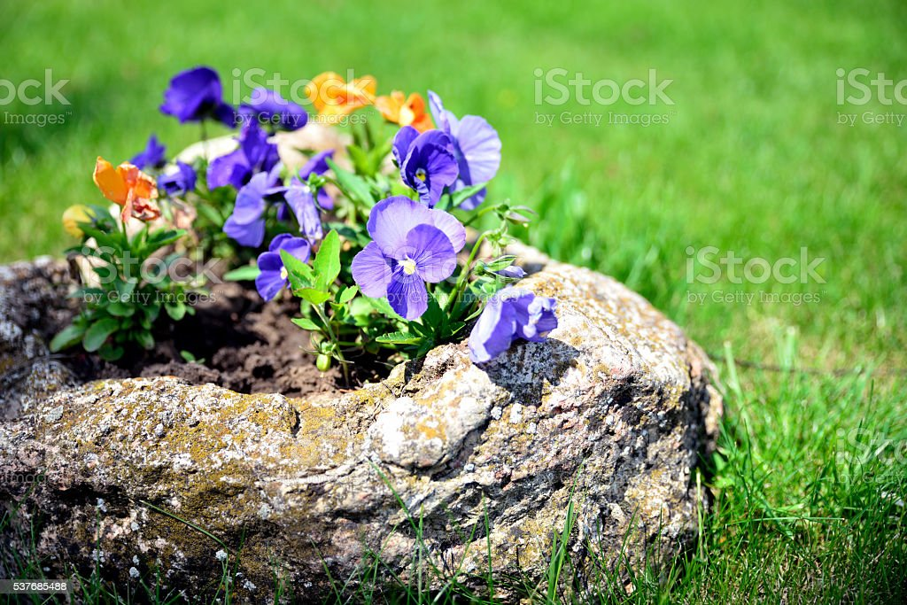 Flowers (Viola wittrockiana) in the garden stock photo