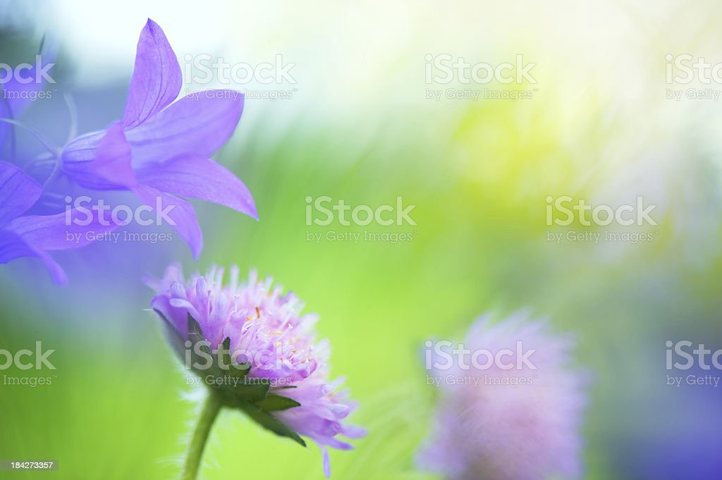 Flowers in the meadow royalty-free stock photo