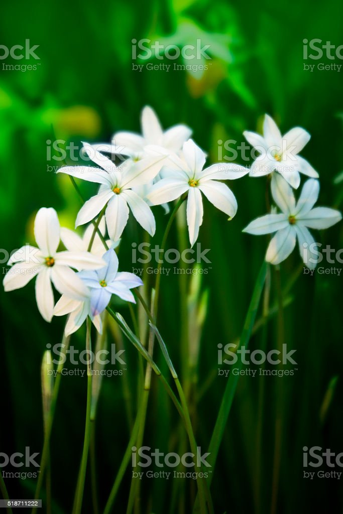 Flowers ipheion uniflorum stock photo