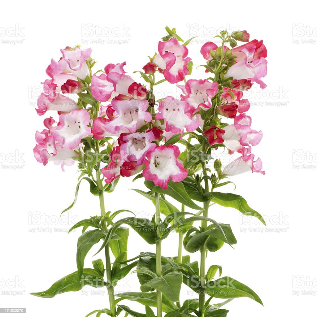 Flowers Isolated on a White Background stock photo