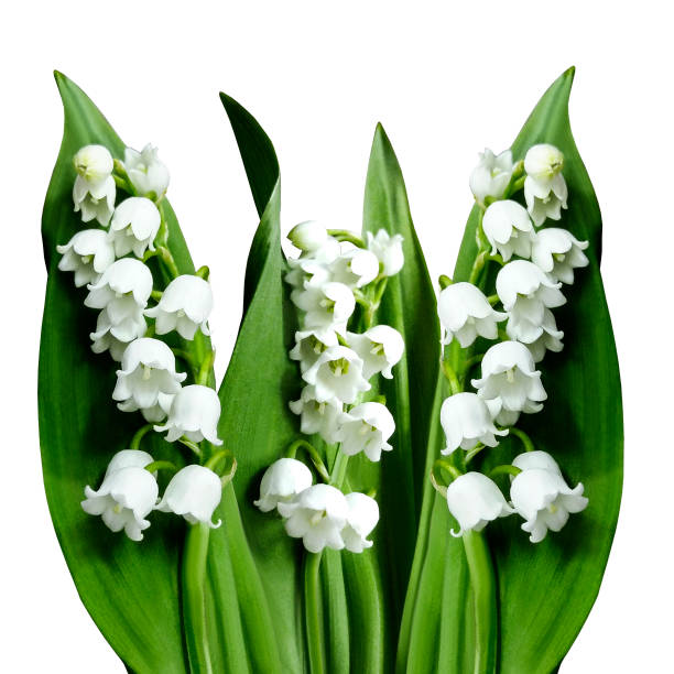 Silhouette of a white bell like flowers pictures images and stock flowers lily of the valley on a white isolated background with clipping path no shadows mightylinksfo