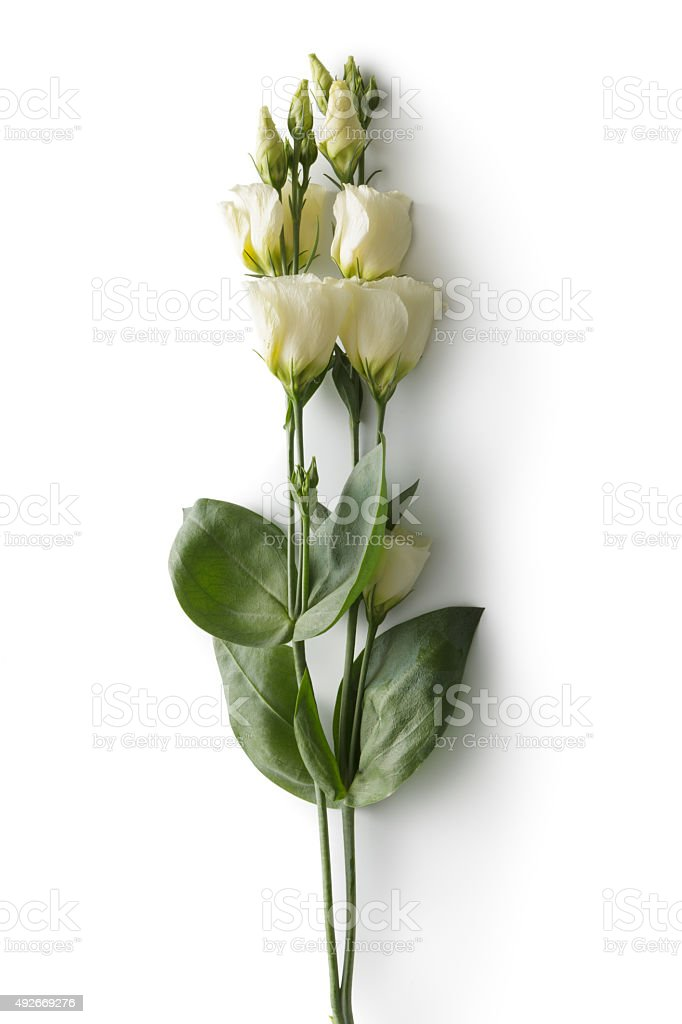 Flowers: Lisianthus stock photo
