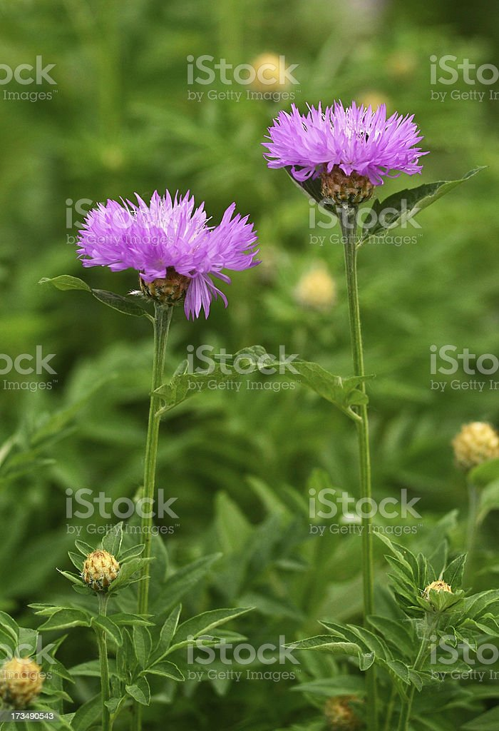 flowers Milk thistle Cirsium medical royalty-free stock photo