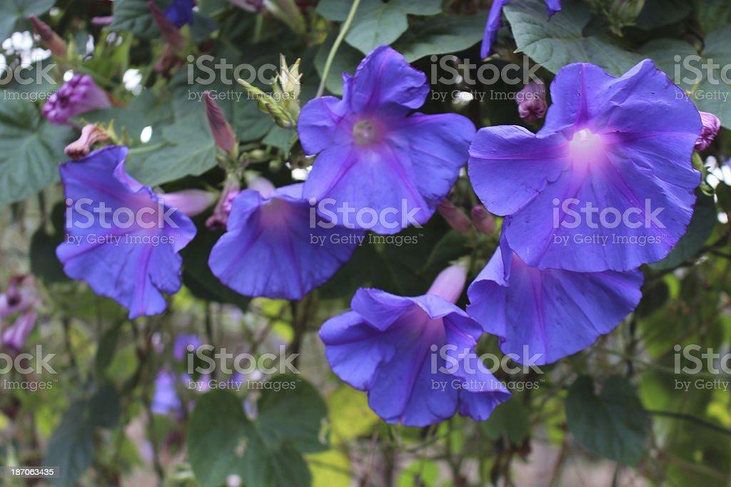 Flowers Morning Glory stock photo