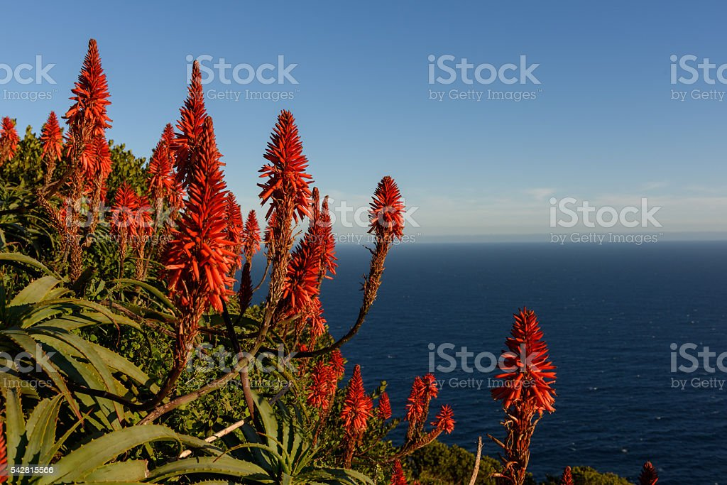 Flowers near Cape Of Good Hope stock photo