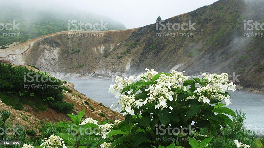 Flowers near steam lake, Golovnina volcano, Kunashir Kurily, Russia stock photo