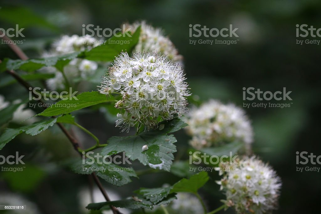 Flowers of a flowering hawthorn closeup. Nature stock photo