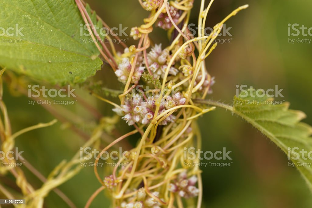 Flowers of a greater dodder, Cuscuta europaea stock photo