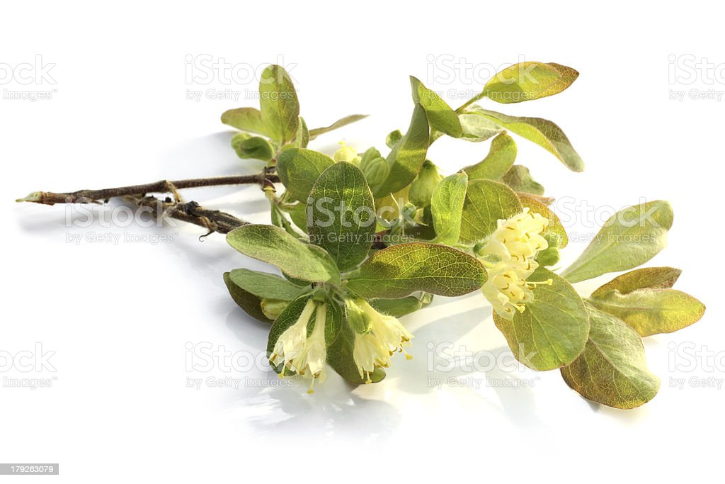 Flowers of a honeysuckle with leaves stock photo