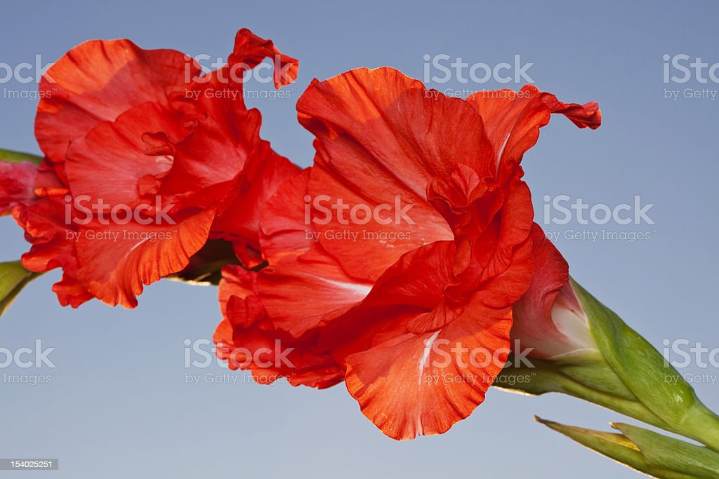 Flowers of a red gladiolus royalty-free stock photo