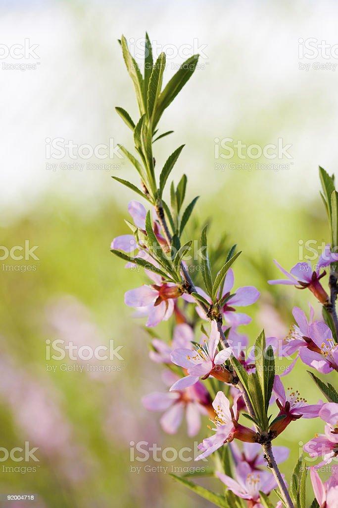 Flowers of almond tree royalty-free stock photo