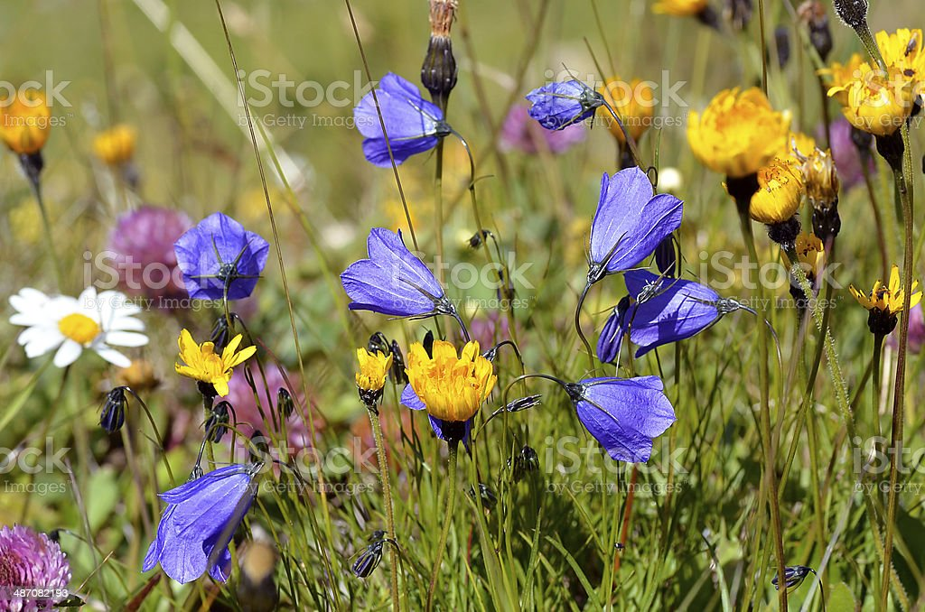 Flowers of Alps French royalty-free stock photo