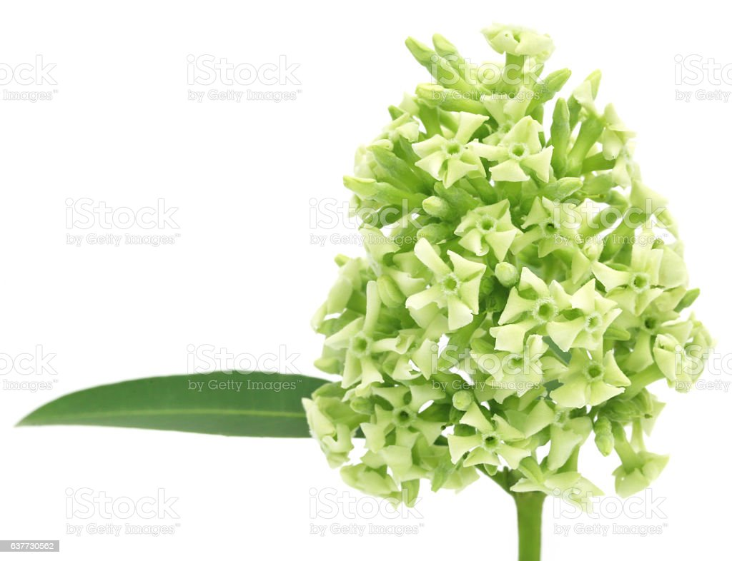 Flowers of Alstonia scholaris stock photo