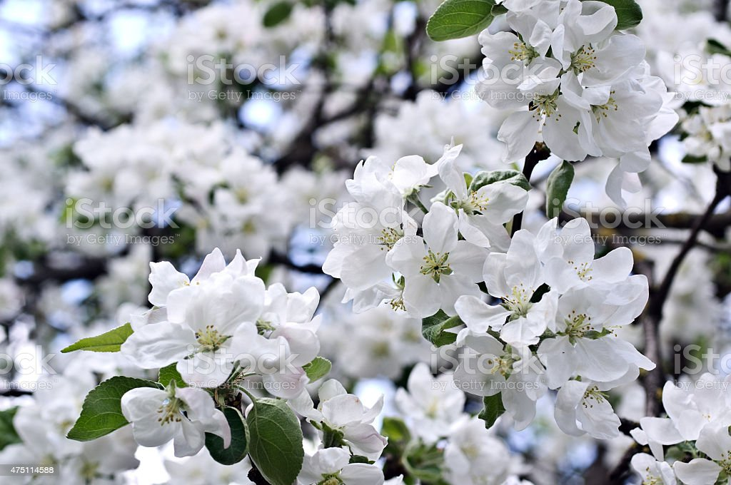 Flowers of an apple-tree in the spring stock photo