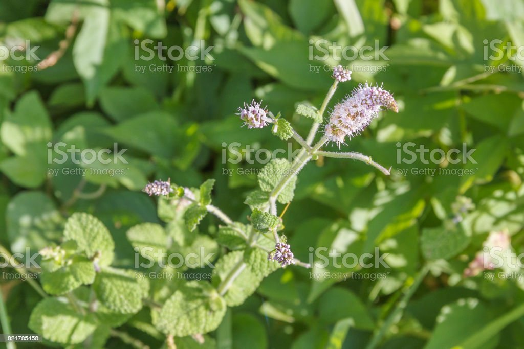 Flowers of apple mint Mentha suaveolens stock photo