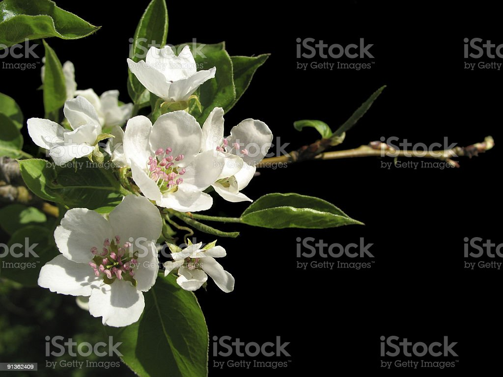flowers of apple royalty-free stock photo