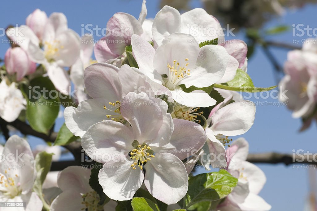 flowers of apple tree royalty-free stock photo