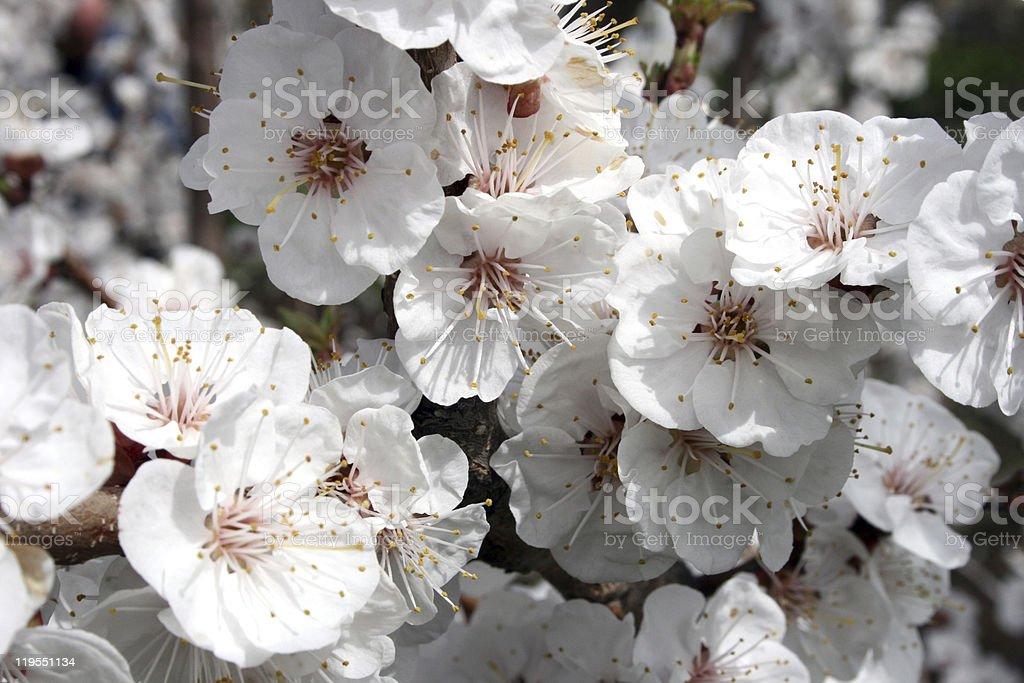 꽃 of 애프리컷 royalty-free 스톡 사진