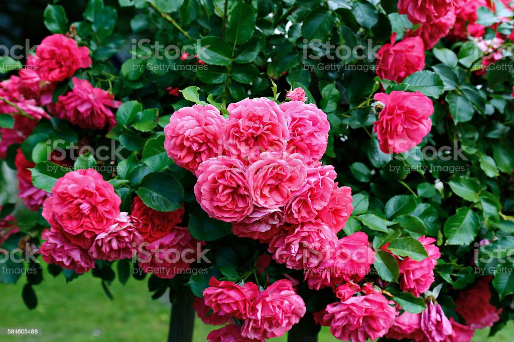 Flowers of beautiful pink roses stock photo