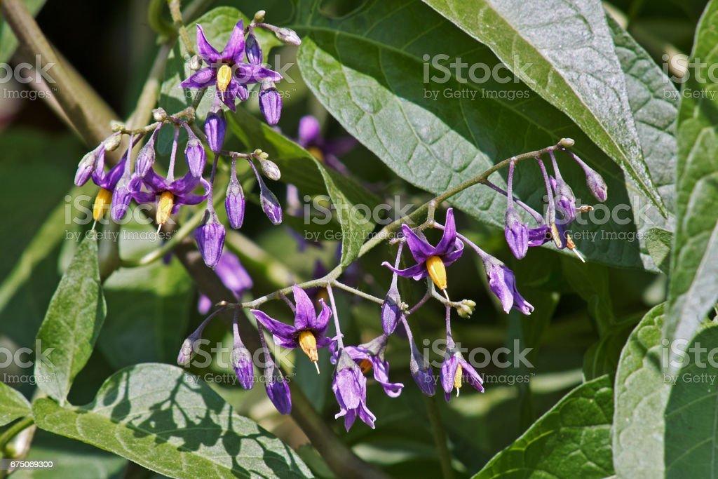 flowers of bittersweet, solanum dulcamara stock photo