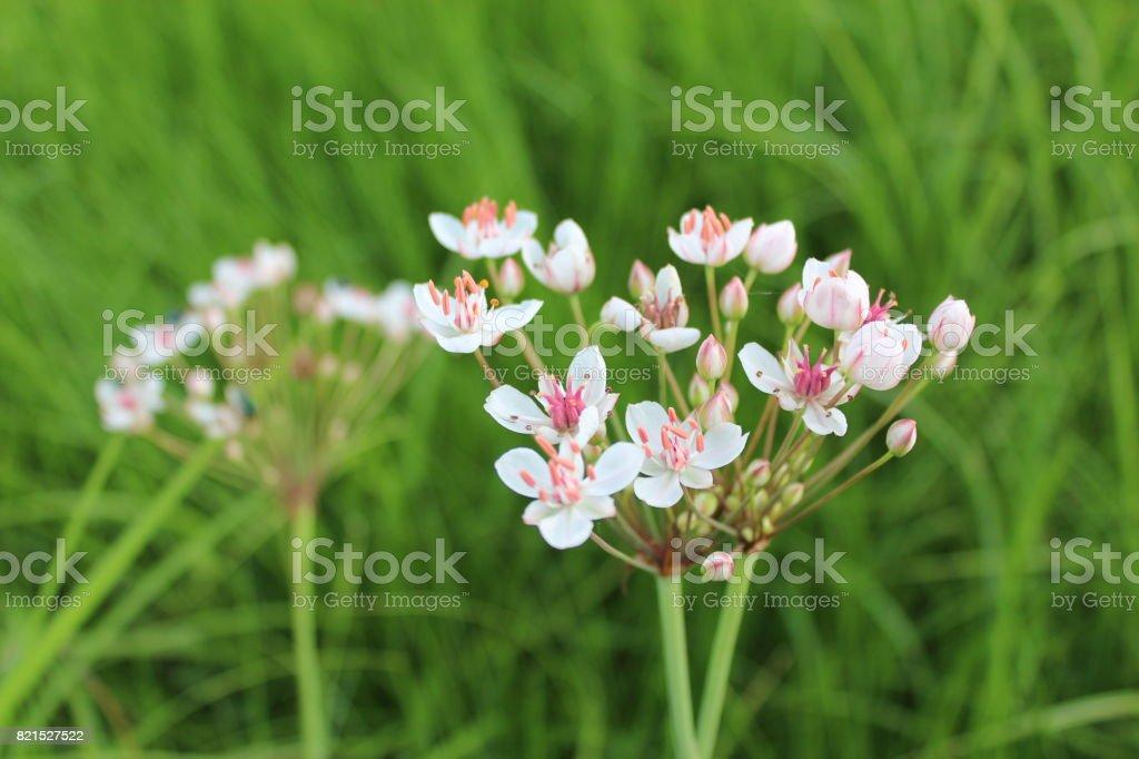 flowers of butomus umbellatus stock photo