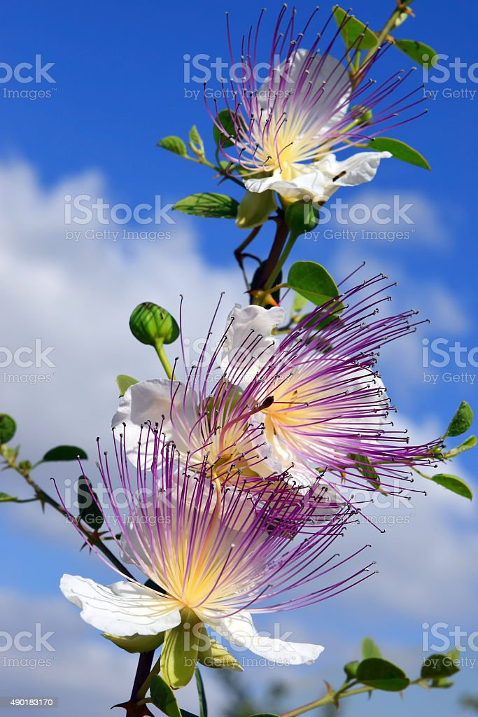 flowers of capparis spinosa, caper bush stock photo
