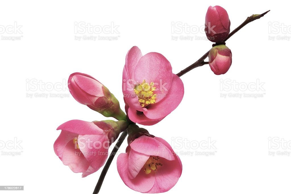Flowers of Chaenomeles Japonica (Japanese Quince) blossoming.  I stock photo