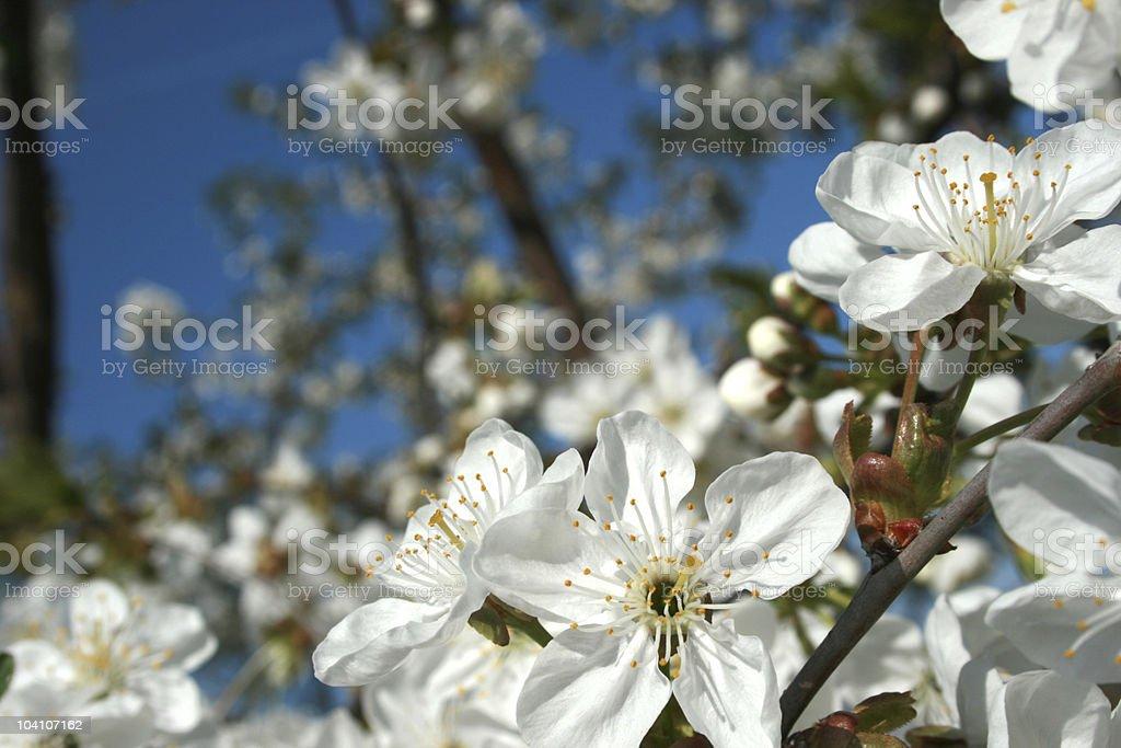 꽃 cherry royalty-free 스톡 사진