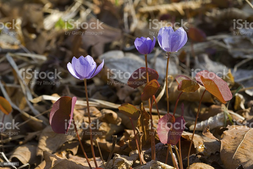 Flowers of early spring stock photo