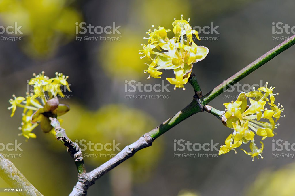 Flowers of European Cornel (Cornus mas) stock photo
