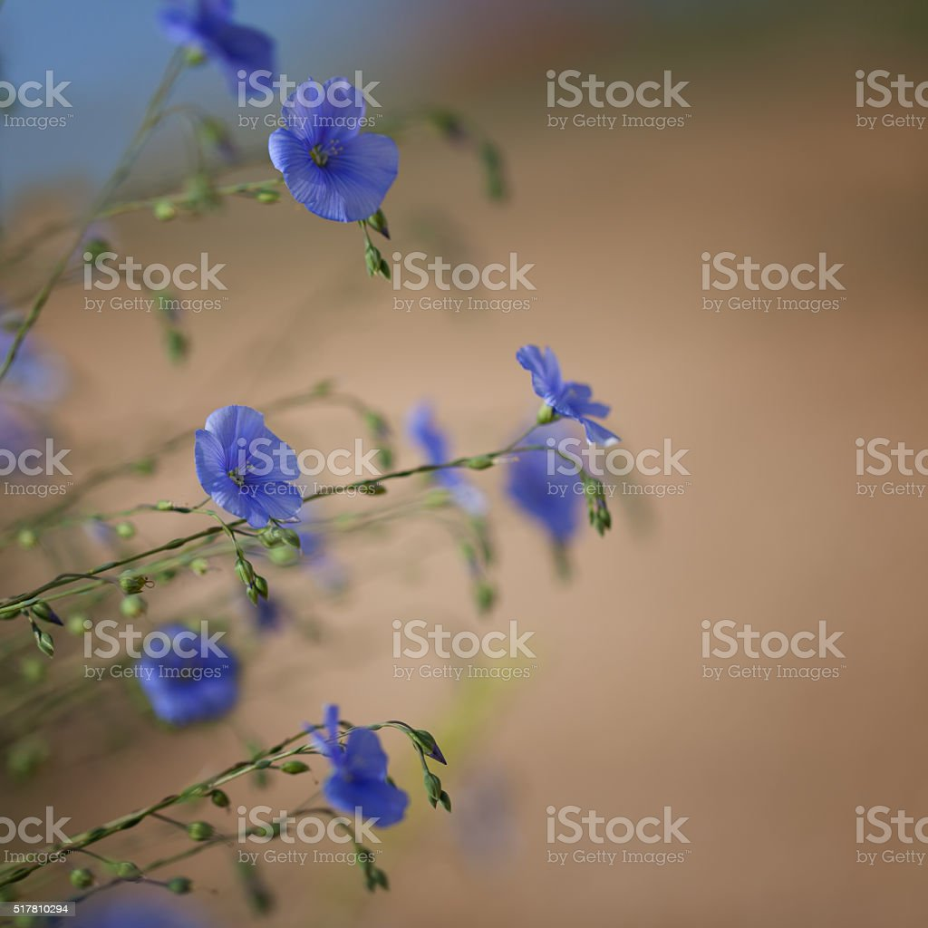 Flowers of flax stock photo