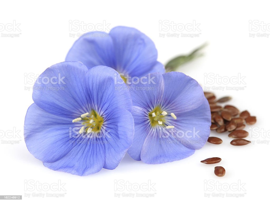 Flowers of flax with seeds stock photo